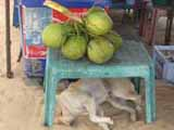 dog watching over coconuts